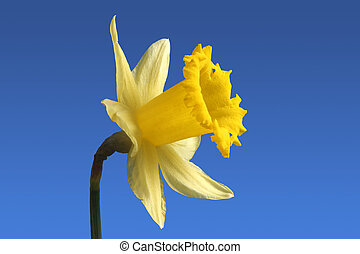 An English daffodil. - An English daffodil flower.