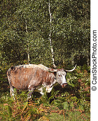 an english long horn cow amongst birch trees and bracken