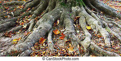 An entire Beech tree root system growing along the top of...