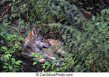An european wolf resting in the woods