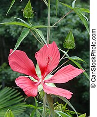 A bright scarlet flower on a swamp hibiscus plant.