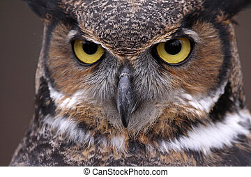 Great Horned Owl (Bubo virginianus) - An extreme close-up of...