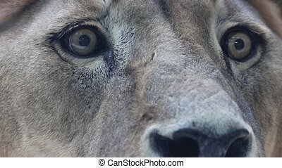 An eye of lioness sitting in the nature reserve. Close up