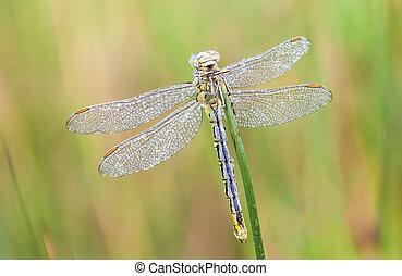 an Fire dragonfly