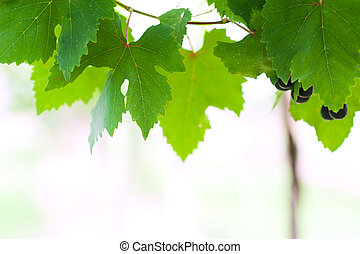 grape leaf in soft light