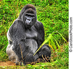An HDR image of a male silver back gorilla sitting holding a...