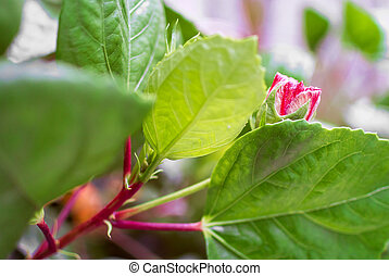 Hibiscus flower in soft light .