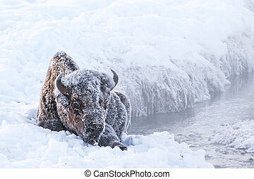 frosty bison - an iconic frosty bison seated near an icy...