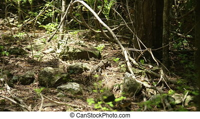 An iguana on its natural habitat