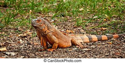 An iguana on the grass