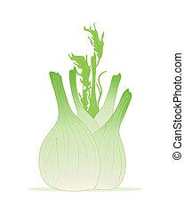 fennel bulb - an illustration of a freshly harvested fennel...