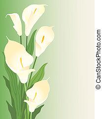 calla lillies - an illustration of beautiful creamy white...