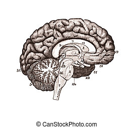 An illustration of brain sections. Brain Anatomy concept