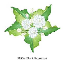 An Illustration of Jasmine Flowers on White Background