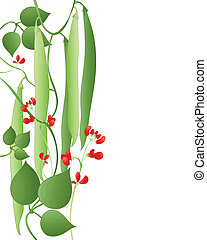 an illustration of runner beans with scarlet flowers and green leaves on a white background