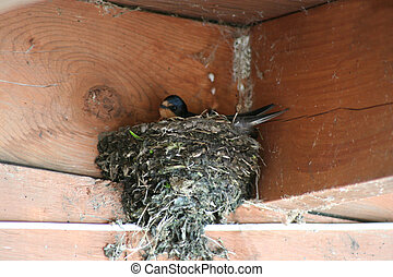 Barnswallow nest - an image of a Barnswallow nest