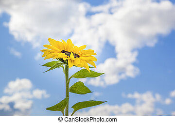 beautiful sunflower in front of the blue sky
