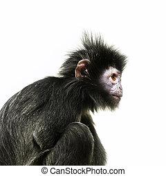 An image of a black ape with orange eye