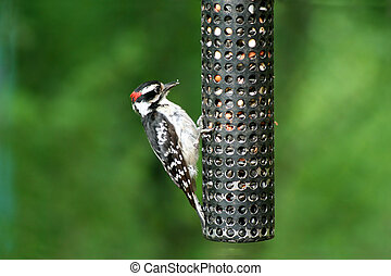 Downey Woodpecker at birdfeeder - an image of a Downey...