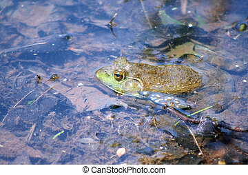 Frog in water - an image of a Frog in water