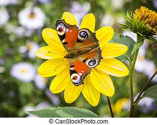 An image of a nice butterfly Inachis Io