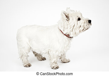 white Terrier - An image of a nice white Terrier