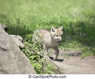wolf cub - An image of a nice wolf cub