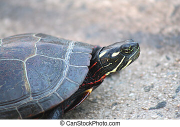Painted Turtle - an image of a Painted Turtle