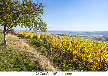 a view over a vineyard at Alsace France in autumn light