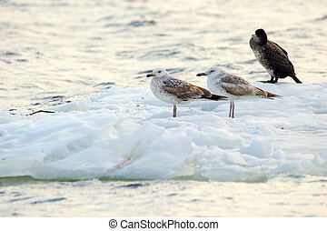 feathered seagulls floating on an ice floe along the river