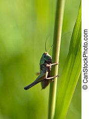 an image of grasshoppers and rice