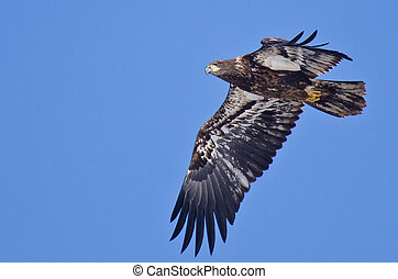 Immature Bald Eagle - An Immature Bald Eagle Flying Across a...