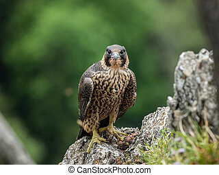 An immature peregrine falcon sitting on a rock
