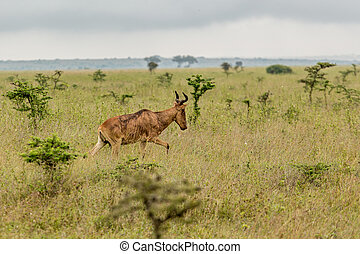 An impala in the wild