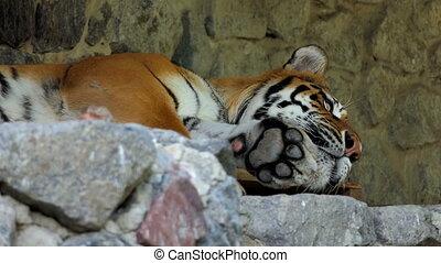 a Big Sleeping Striped Tiger