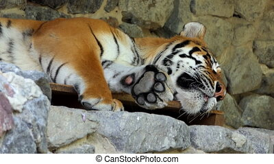 a Big Sleeping Striped Tiger Lies on Stones