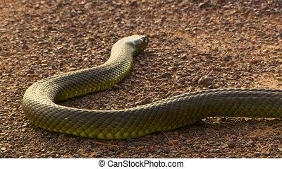An inland taipan snake slithering across sand - High angle...