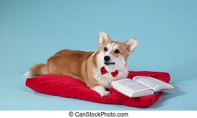 An intelligent dog of the Welsh Corgi Pembroke breed in a red bow tie, lies on a red pillow next to an open book. The pet is posing in the studio on a bluish background. Slow motion. Close up.