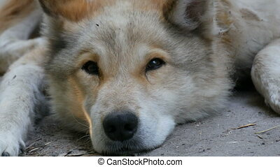 An interesting funny dog looks like a wolf with white fur lies on the ground in the street in summer.