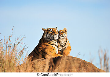 A mother tiger with her cub, spending an intimate moment together.