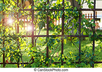 An iron fence with a creeper in a garden in a sunny day