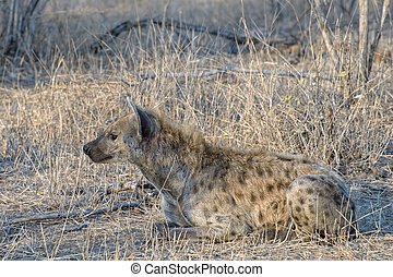 An Isolated Hyena sitting in the African Savanna, South Africa