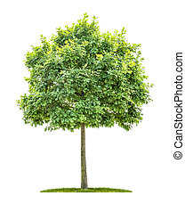 An isolated oak tree on a white background