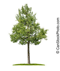 An isolated pear tree on a white background