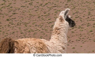 A close up shot of a Llama standing on a field with sparse vegetation
