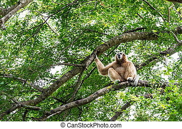 Northern white cheeked gibbon