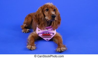 An obedient cocker spaniel lies in the studio against a blue background with his front legs stretched out in front of him. A pet in a pink bib looks carefully in front of him. Slow motion. Close up