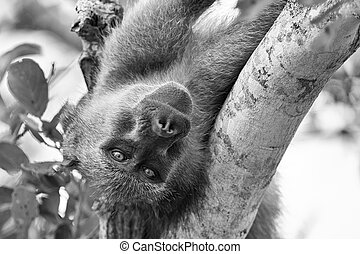 An old and tired baboon resting in fork of a tree