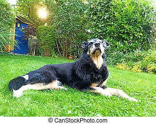 An old dog lying in a garden