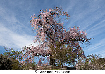 An old famous ancient cherry blossom tree at Maruyama Park...